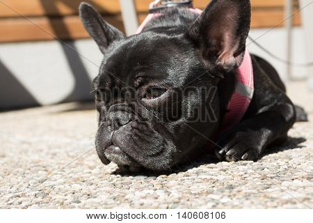Black French Bulldog relaxing in the sun