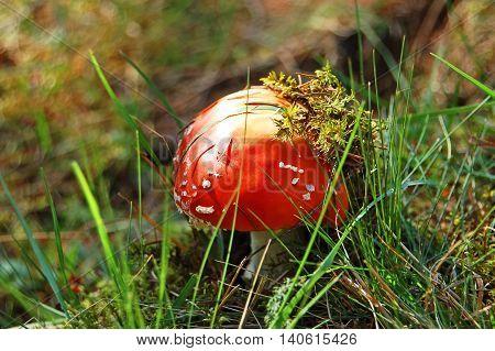 Amanita Muscaria Mushrom