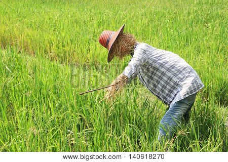 Scarecrow with straw hat in green rice field
