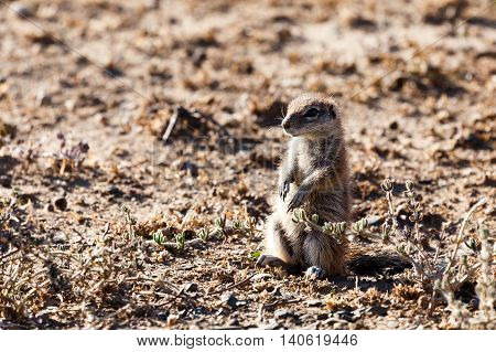 Ground Squirrel - Wildlife Park