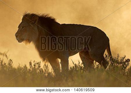 Big male African lion (Panthera leo) in dust at sunrise, Kalahari desert, South Africa