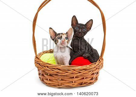 Two little kittens Cornish Rex in a basket isolated on white