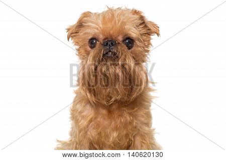 Portrait dog breed Brussels Griffon isolated on white