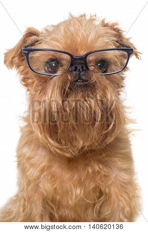 Dog portrait with glasses breed Brussels Griffon isolated on white
