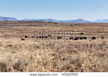 Black Wildebeest Landscape -Cradock is a town in the Eastern Cape Province of South Africa in the upper valley of the Great Fish River 250 kilometres by road northeast of Port Elizabeth.