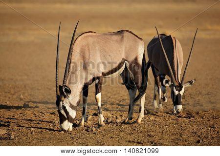 Gemsbok antelopes (Oryx gazella) in natural habitat, Kalahari desert, South Africa