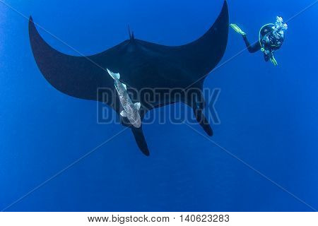 Black Manta Ray at Islas Revillagigedos in Mexico