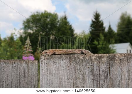 The common wall lizard, lizard or wall (Podarcis muralis)