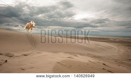A single horse walking on the beach