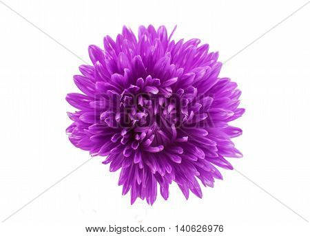 aster violet flower on a white background