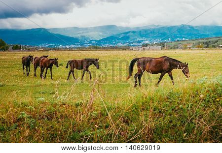 Green pastures of horse farms. Mare with foals. Summer landscape with the mountains stood out against the skyline.