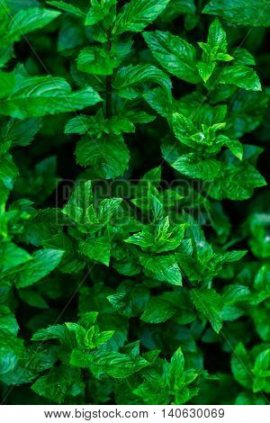 Pepper mint leaves at the nature. Kitchen Mint, Marsh Mint in vegetable garden.