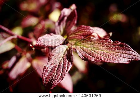 Close up of burgundy coloured Fall leaves