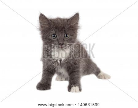 Portrait of little grey kitten looking to camera, isolated on white