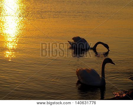 Swans at sunset. Swinoujscie, Poland - August 13, 2009 A pair of swans in the light of the setting sun with a breakwater in Swinoujscie.