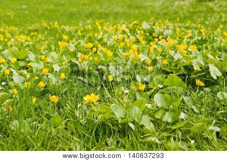 Glade Of Yellow Flowers