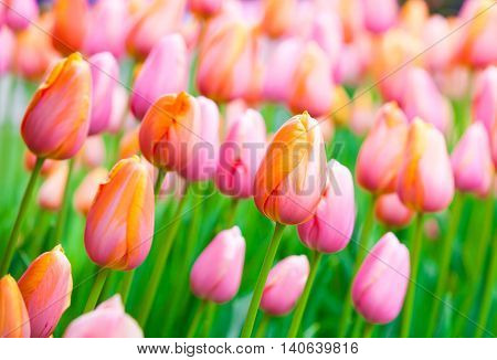 Large group of beautiful pink and yellow tulips growing in spring field