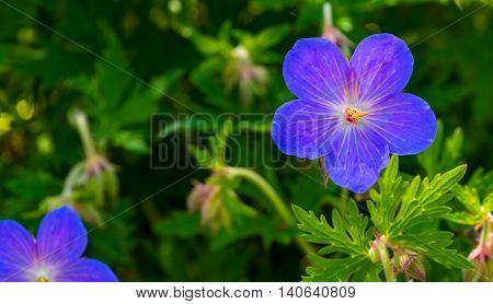 A Cranesbill geranium (perennial) one of the first of the spring display