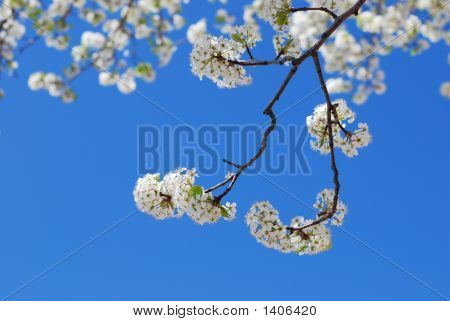White Bradford Pear Blossoms