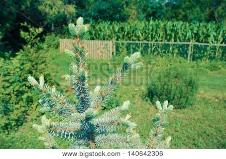 Blue spruce in summer yard in village clseup
