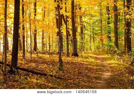 A path through a golden wood of autumn with sunlight streaming in from the left