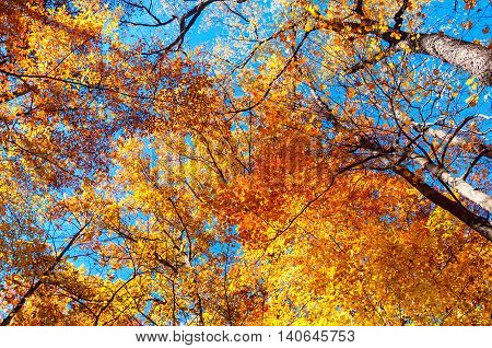 Golden colors of a treetop canopy glow brilliantly on an autumn day.