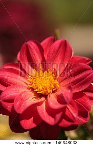 Red Dahlia flower called Fascination in summer.