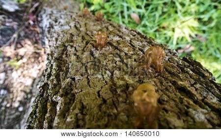 Closeup Molt of Cicada on tree bark