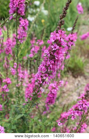 Loosestrife Morden's Gleam Lythrum magenta/purple wildflower bending in the breeze.