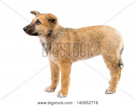 Shepherd puppy small dog on white background