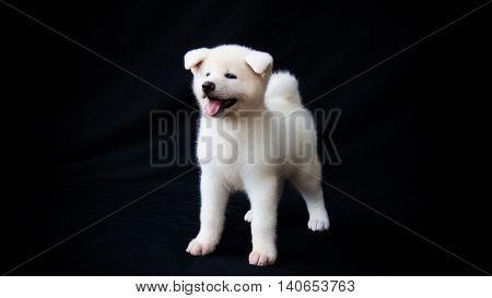 Dog Akita Inu in black background, beautiful dog
