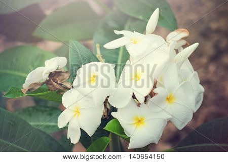 Plumeria Flowers On Tree With Light Effect
