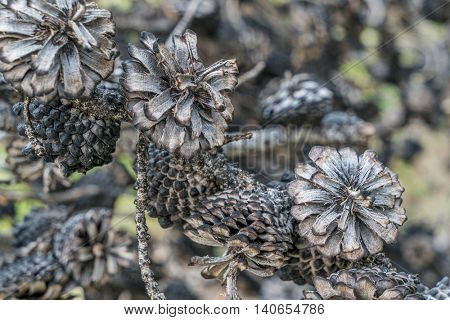 abstract of pine tree cones burned by wildfire, Rocky Mountains in Colorado