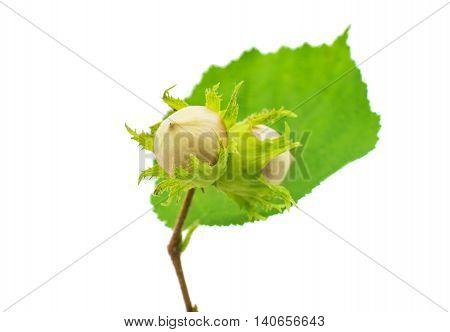 green hazel nut on a white background