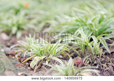 Spider Plant With Green & White Slender Leaf Which Is Good For House Garden Decoration