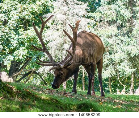 Bull Elk grazes in the summer heat