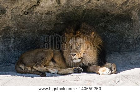 The King of Beasts the majectic lion catches a few zzz's