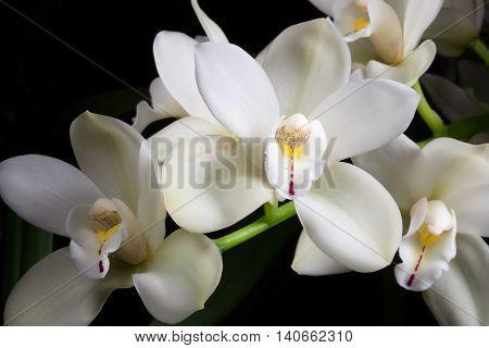 Beautiful white Cymbidium orchid flowers over black background