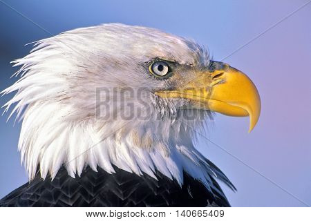 Bald Eagle adult bird portrait Head close up