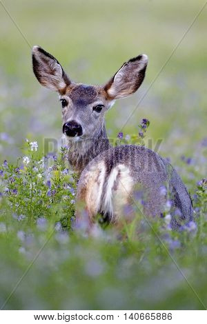 Mule Deer in field of blooming Alfalfa flowers