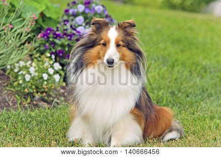 Shetland Sheepdog sitting in garden by flowers.