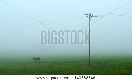 Cows on a farm in East Devon on a foggy morning