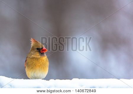 Female cardinal in the snow on a cold day in Wisconsin.