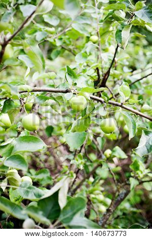Apple tree with green apples