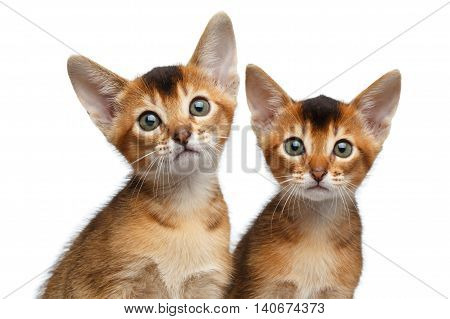 Closeup Two Cute Abyssinian Kitten Sitting and Curious Looking in Camera on Isolated White Background, Front view, Baby Animal