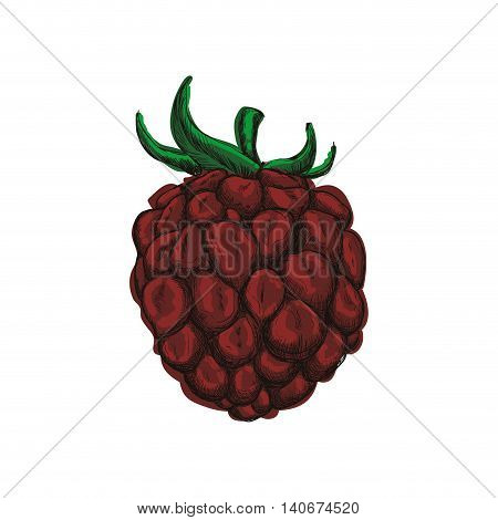 Fruit and organic food concept represented by blackberry icon. Isolated and sketch illustration