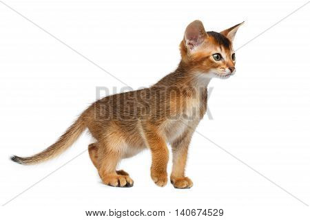 Cute Abyssinian Kitty Walking on Isolated White Background, Front view, Baby Animal