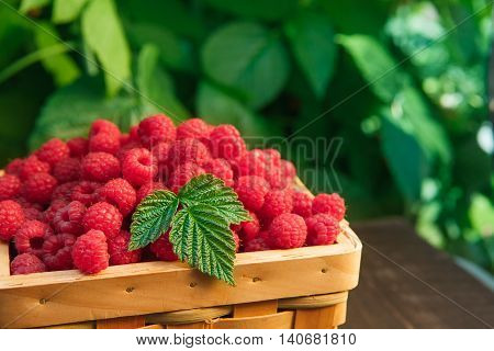 Wicker basket full of raspberries closeup on wooden table outdoors at raspberry bush with green leaves background. Summer harvest of berries