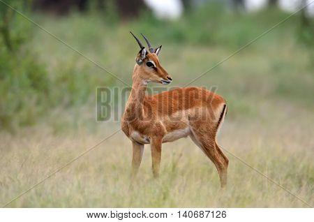 Impala (Aepyceros melampus) in african natural park