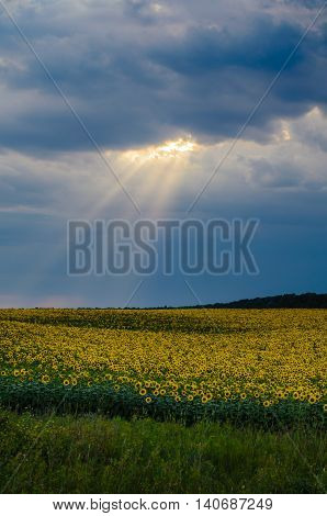 Sun beam over the sunflowers field in summer. Storm clouds